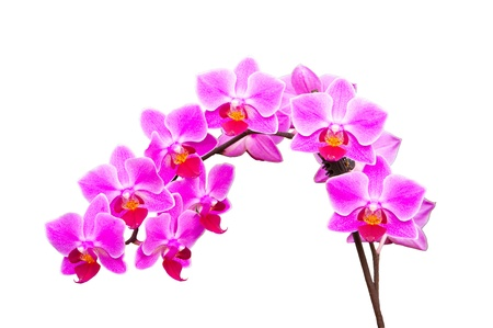 branch of orchids on a white background