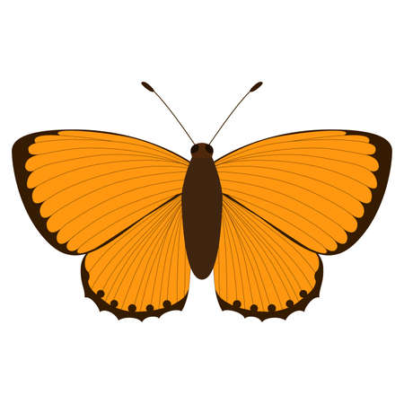 Lycaena virgaureae. Orange butterfly on a white background. Vector isolated object. Illustration of an insect.