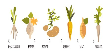 Vector set of root vegetables in flat style. Vectra carrots, potatoes, onions, horseradish, parsley. Vegetables that grow underground with captions on a white background isolated clip-art on a white background. Baby game, stickers, minimalism.