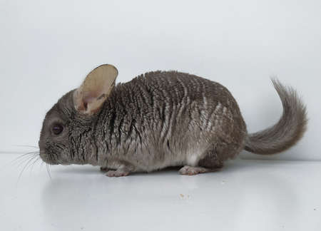 Cute little hetero-beige chinchillas. Fluffy rodent with beautiful gray fur on a white background in isolation. A pet, a cute furry friend, a good rodent. Chinchilla stands sideways, fluffy tail and large pink ears Archivio Fotografico