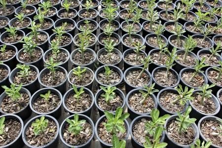 sain: poi sain plant Stock Photo