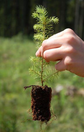 reforestation: reforestation works - planting of a fir tree seedling Stock Photo