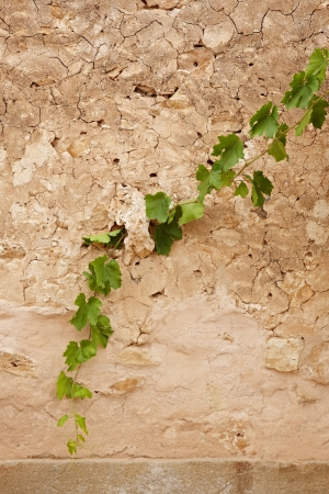 Grape plant growing on rough wall
