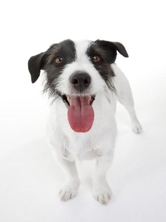 Jack Russel terrier on white
