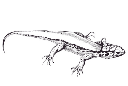 outline of lizard isolated on white background. Graphic stylized. vector illustration. pencil drawing sketch Illustration