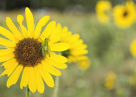 야생 노란 해바라기에 메뚜기