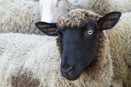 Dark-faced sheep looking at the camera Stock Photo