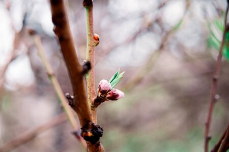 tender blooming in spring, young leaves, warming on a sunny day. beautiful young apricot flower on a green branch in the garden, close-up. 免版税图像
