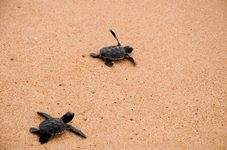 Two little turtles crawl along the sand on the ocean to the water. saving and stick animals in the Sea Turtles Conservation Research Project Center in Bentota, Sri Lanka.
