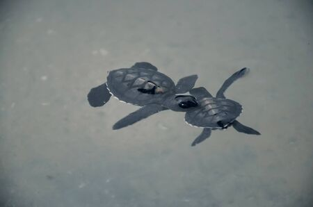 little kids turtles swim in the pool, underwater world of the ocean. saving animals in the Sea Turtles Conservation Research Project Center in Bentota, Sri Lanka.