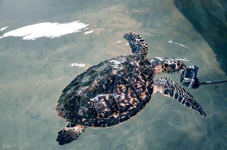 Beautiful big turtle swim in ocean near camera, video filming  underwater, volunteer watching underwater world. attacked camera. saving animal in Sea Conservation Research Project in Bentota, Sri Lanka Stock Photo