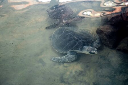 Big young turtles swim in the water, environmental pollution, saving animals in the Sea Turtles Conservation Research Project Center in Bentota, Sri Lanka.