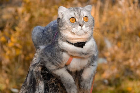 beautiful fluffy cat walks in the autumn forest with a collar. cat sitting on a tree