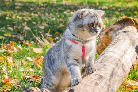 beautiful fluffy cat walks in the autumn forest with a collar. cat sitting on a tree Stock fotó