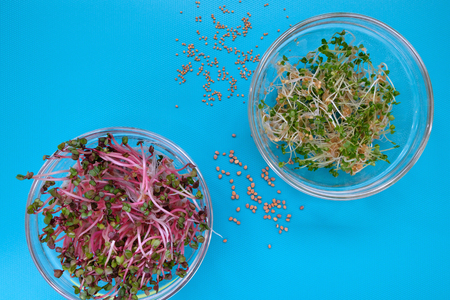 close-up on fresh radish and arugula sprouts in a glass bowls, blue background