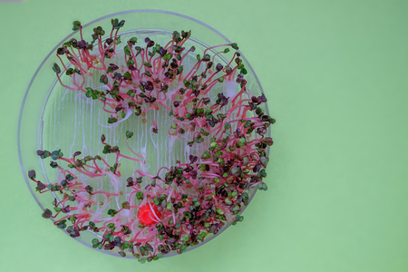 close-up on fresh radish sprouts in a transparent sprouter, green background