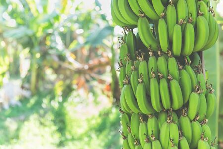 Fresh green bananas growing on a tree on plantation. Sunlight, close up, copy space.