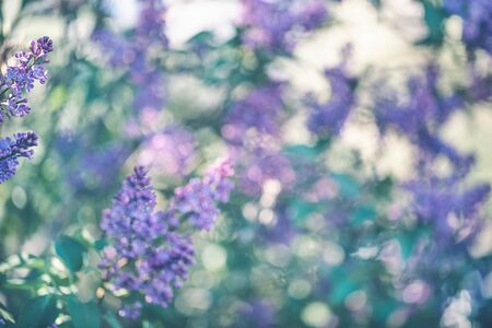 Blurred blooming purple lilac garden background. Morning sunlight, spring concept.