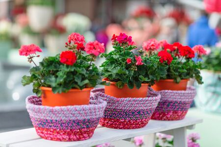 Red geranium in flower pots. Selective focus