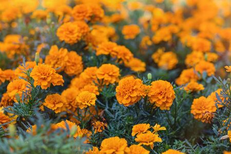 Orange tagetes or Marigold flowers. Floral background. Selective focus