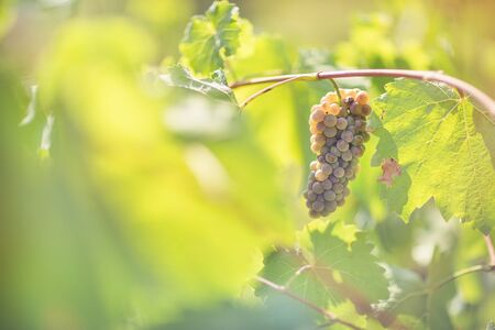 Ripe white grapes in vineyard. Autumn, sunny day, harvest time. Selective focus, copy space. Winegrowing concept