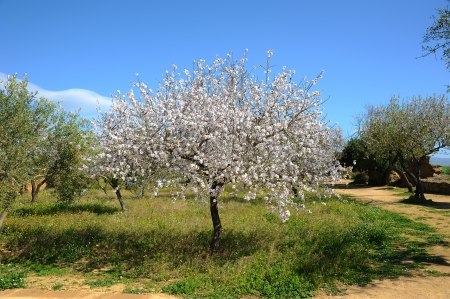 An almond tree in Sicily