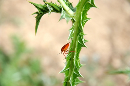 Red bug on a thorn Stock Photo