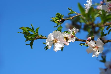 Bee and a flowering almond photo