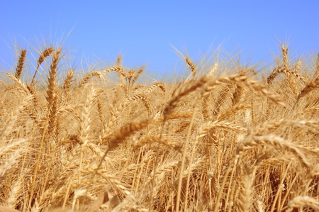 Golden wheat on an endless field and a blue sky