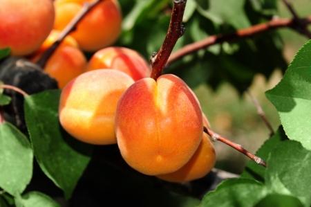 Een tak met rijpe abrikozen op een plantage
