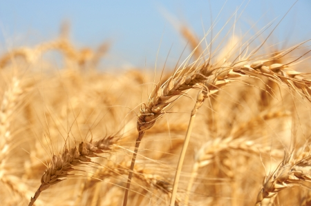 Golden ears of wheat on an endless field  Stock Photo