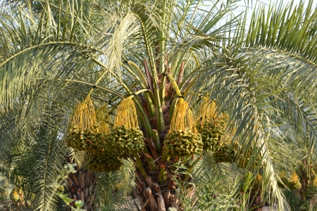 Dates on a palm tree in the Middle East Stock Photo