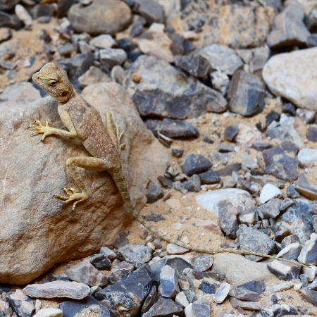 A lizard on a rock  Listening to unfamiliar sounds  Stock Photo