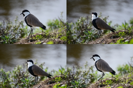 Bird vanellus spinosus or spur-winged lapwing. Stock Photo