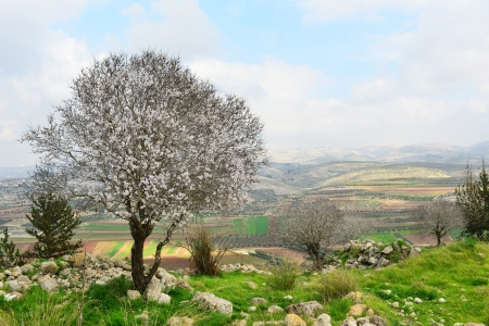 Wild almond tree in beautiful scenery. Flowering tree in a historic place. Stock Photo