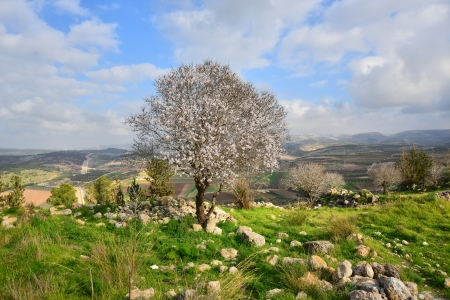 Israeli landscape. Wild almond tree in beautiful scenery.