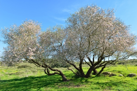 An old and very beautiful almond tree in bloom