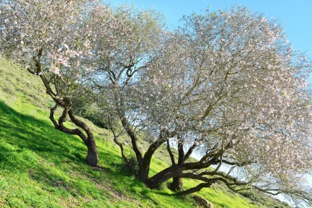 An old and very big almond tree in bloom  photo