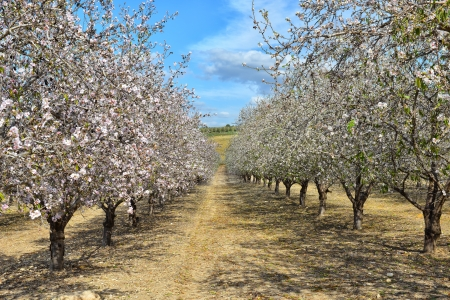 Almond trees with pink blossom on the left, white blossom on the right.