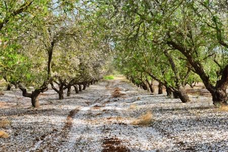 almond tree: Petals off almond trees looks like snowing.
