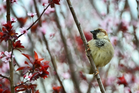 Disheveled little sparrow sitting on a plum branch