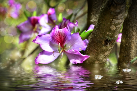 Orchid tree - flower Bauhinia and simulation of water. photo