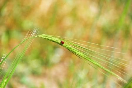 Minimalism - red bug on an ear of wheat  A simple picture with a red beetle  photo