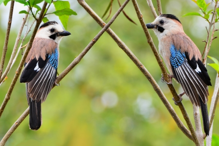 Two jays on the branches  Light green spring background  photo