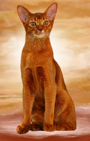 Abyssinian cat sorrel color  Abstract background