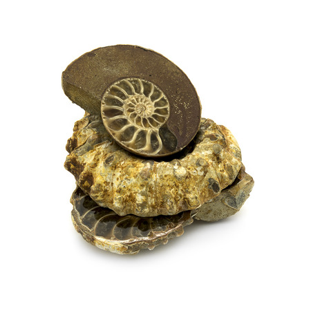 fossilized: Ancient fossilized ammonites on a white background.