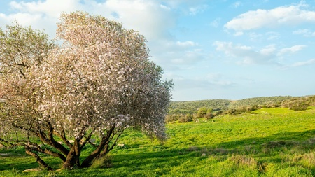 Old blossoming almond tree