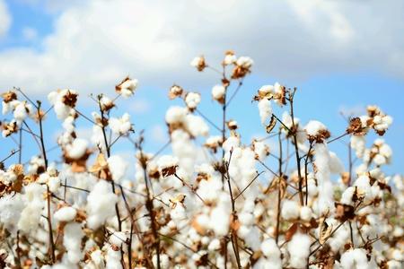 Cotton veld