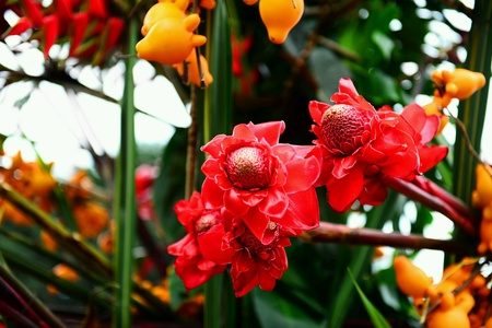 Red tropical flowers