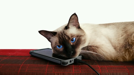 Smartphone pillow for siamese cat